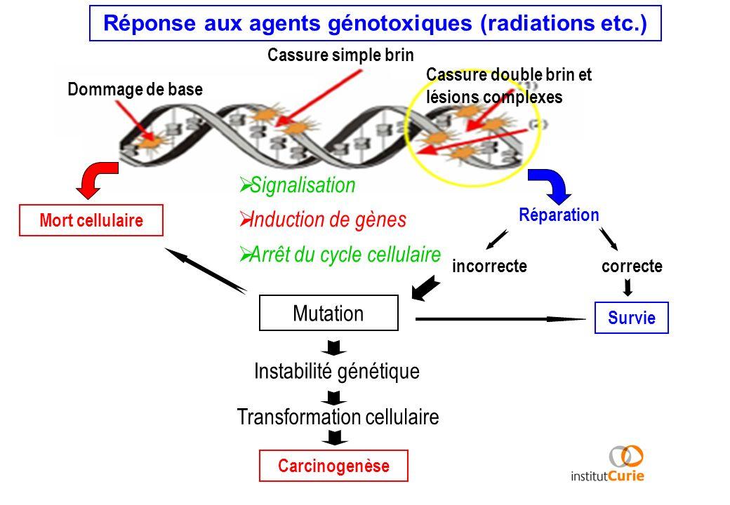 Dommage de base Cassure simple brin Cassure double brin et lésions complexes Réponse aux agents génotoxiques (radiations etc.) Signalisation Induction