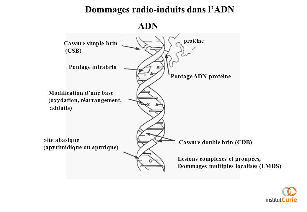 Dommages radio-induits dans lADN Cassure simple brin (CSB) Pontage ADN-protéine Pontage intrabrin Modification dune base (oxydation, réarrangement, ad