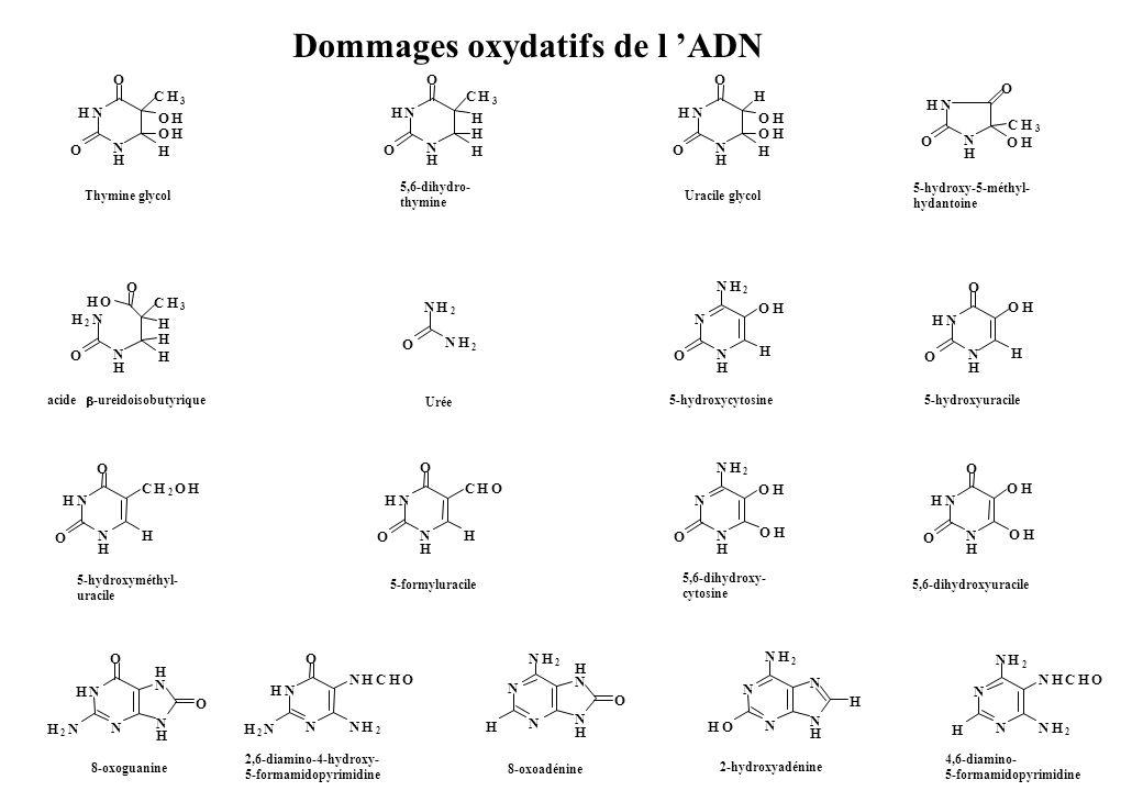 Dommages oxydatifs de l ADN