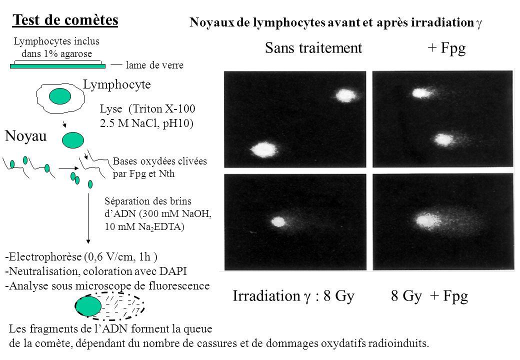 Test de comètes Noyaux de lymphocytes avant et après irradiation Sans traitement + Fpg Irradiation : 8 Gy 8 Gy + Fpg Lymphocytes inclus dans 1% agaros