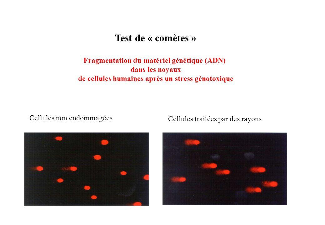 Test de « comètes » Fragmentation du matériel génétique (ADN) dans les noyaux de cellules humaines après un stress génotoxique Cellules non endommagée