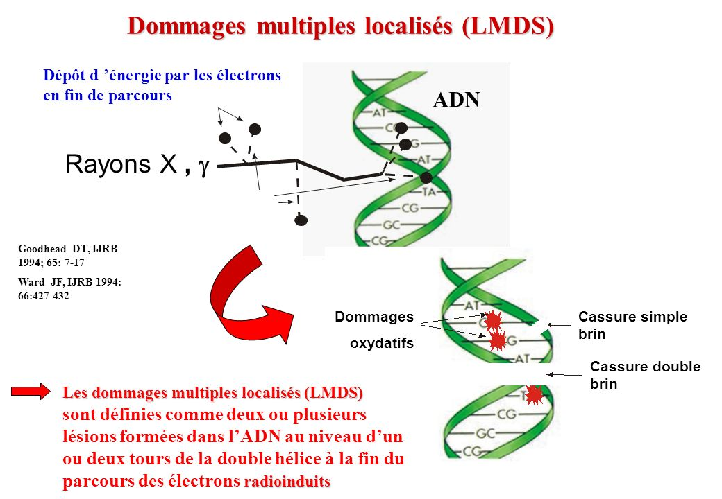 Dommages multiples localisés (LMDS) t Rayons X, Dommages oxydatifs Cassure simple brin Cassure double brin Goodhead DT, IJRB 1994; 65: 7-17 Ward JF, I
