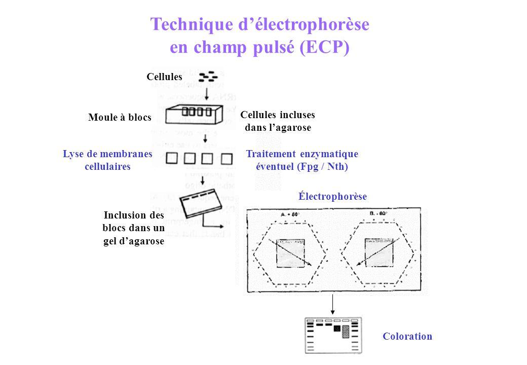 Technique délectrophorèse en champ pulsé (ECP) Coloration Cellules Moule à blocs Lyse de membranes cellulaires Traitement enzymatique éventuel (Fpg /