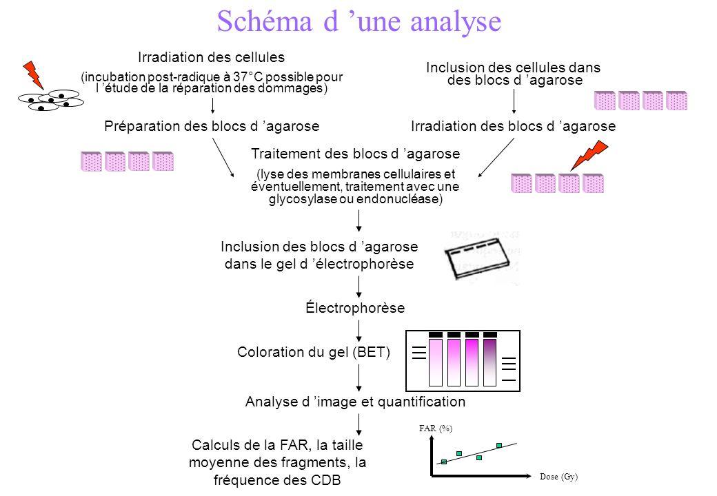 Schéma d une analyse Irradiation des cellules (incubation post-radique à 37°C possible pour l étude de la réparation des dommages) Irradiation des blo