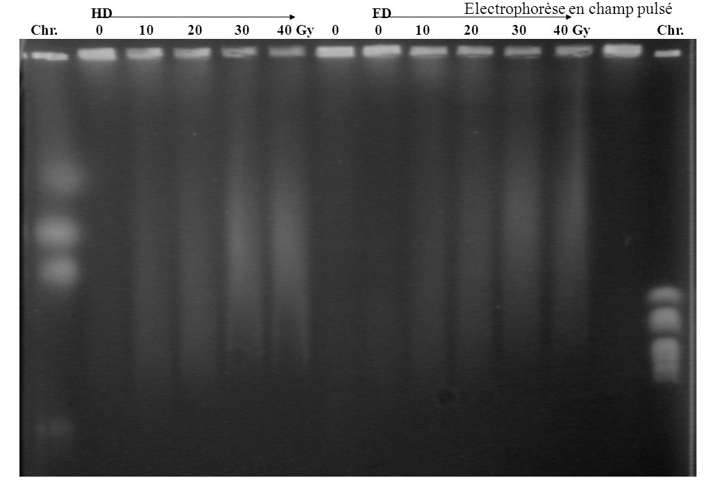 Electrophorèse en champ pulsé Chr. 0 10203040 Gy HD FD 010203040 Gy0