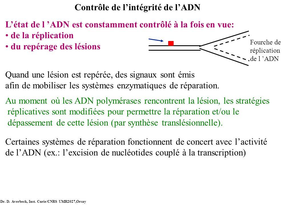 Contrôle de lintégrité de lADN Létat de l ADN est constamment contrôlé à la fois en vue: de la réplication du repérage des lésions Quand une lésion es