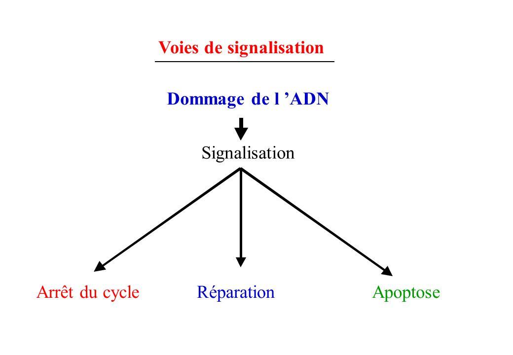 Voies de signalisation Dommage de l ADN Signalisation Arrêt du cycleRéparationApoptose