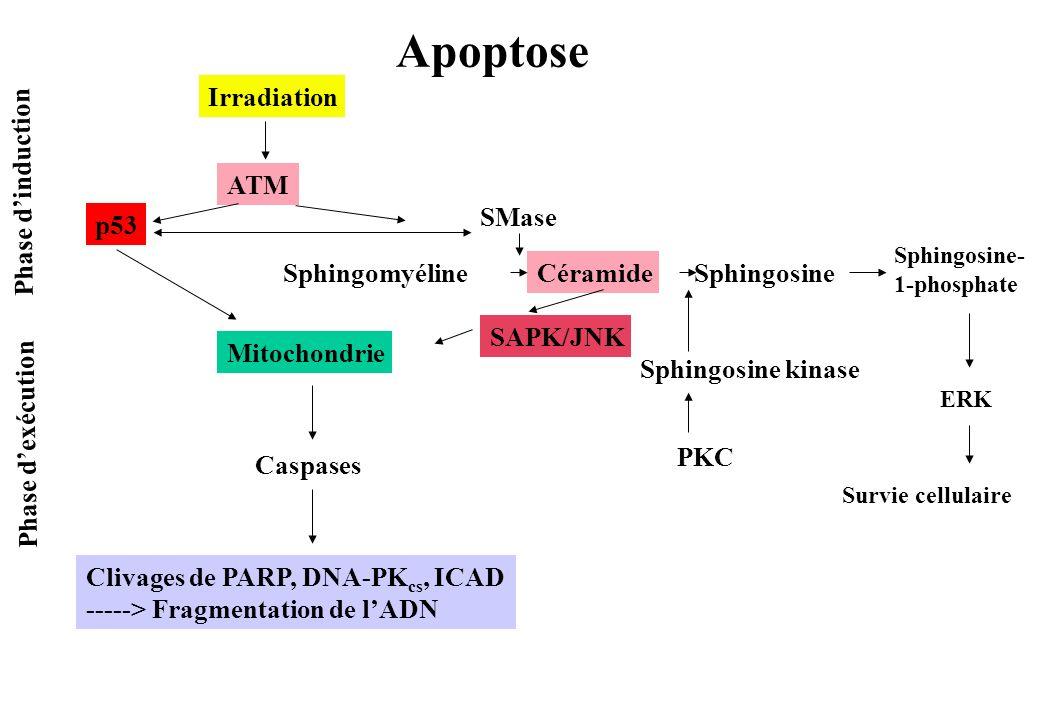 Irradiation ATM p53 Phase dinduction Phase dexécution Mitochondrie Caspases Clivages de PARP, DNA-PK cs, ICAD -----> Fragmentation de lADN Sphingomyél