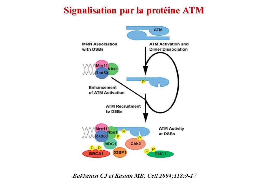 Bakkenist CJ et Kastan MB, Cell 2004;118:9-17 Signalisation par la protéine ATM