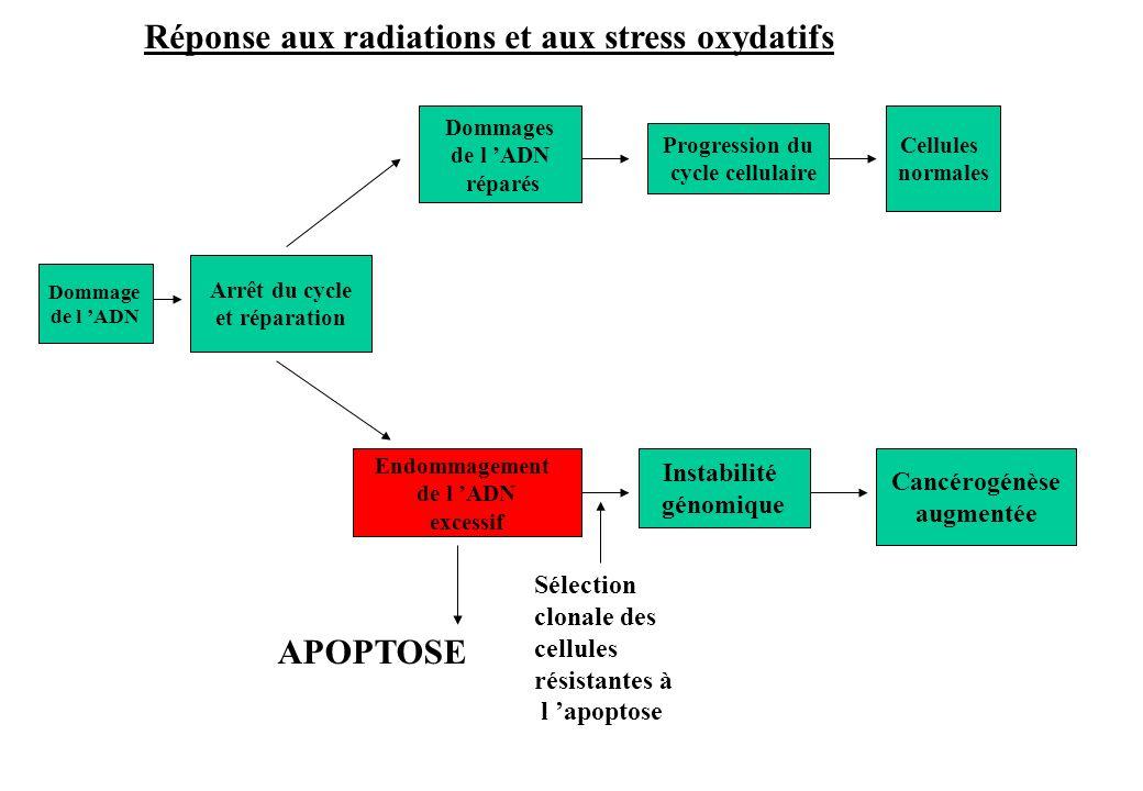 Dommage de l ADN Arrêt du cycle et réparation Dommages de l ADN réparés Cancérogénèse augmentée Endommagement de l ADN excessif Progression du cycle c