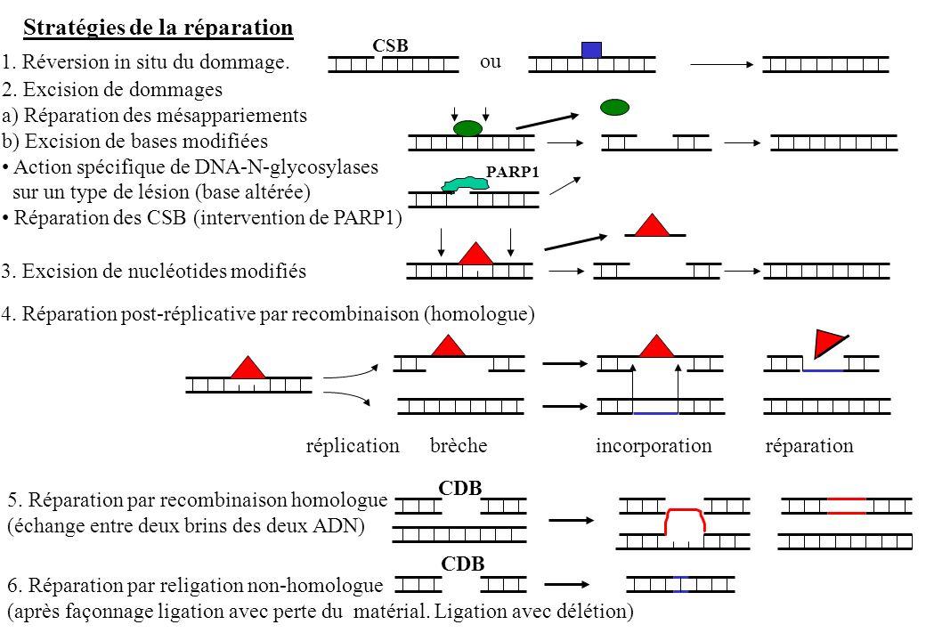 1. Réversion in situ du dommage. 2. Excision de dommages a) Réparation des mésappariements b) Excision de bases modifiées Action spécifique de DNA-N-g