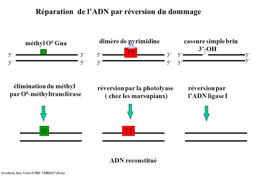 Réparation de lADN par réversion du dommage méthyl O 6 Gua G TT 3-OH dimère de pyrimidine élimination du méthyl par O 6 -méthyltransférase réversion p