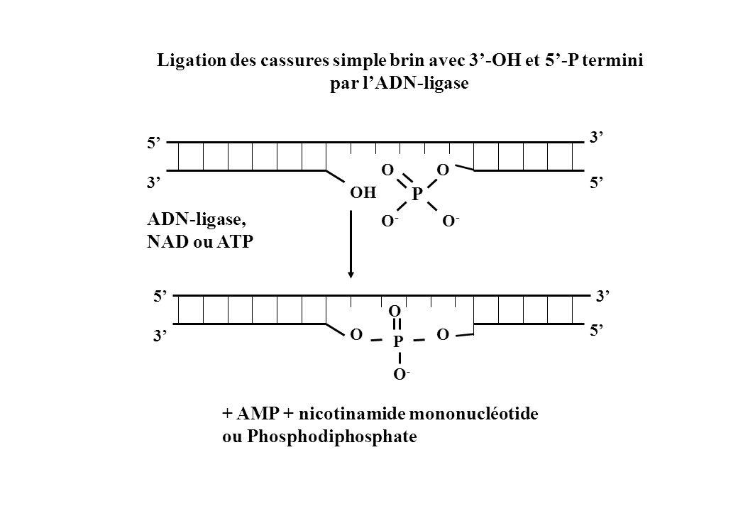 Ligation des cassures simple brin avec 3-OH et 5-P termini par lADN-ligase OH P O O-O- O-O- O 5 5 5 3 5 3 3 3 O O-O- P O O ADN-ligase, NAD ou ATP + AM