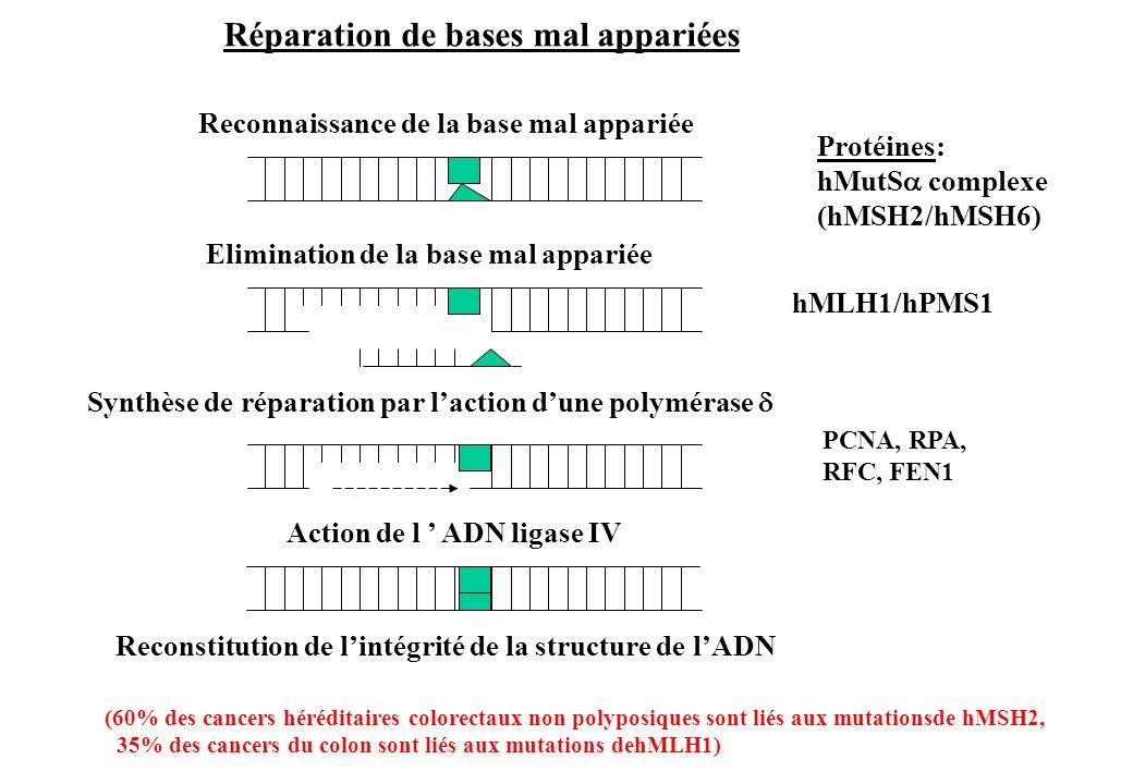 Reconstitution de lintégrité de la structure de lADN Reconnaissance de la base mal appariée Elimination de la base mal appariée Synthèse de réparation