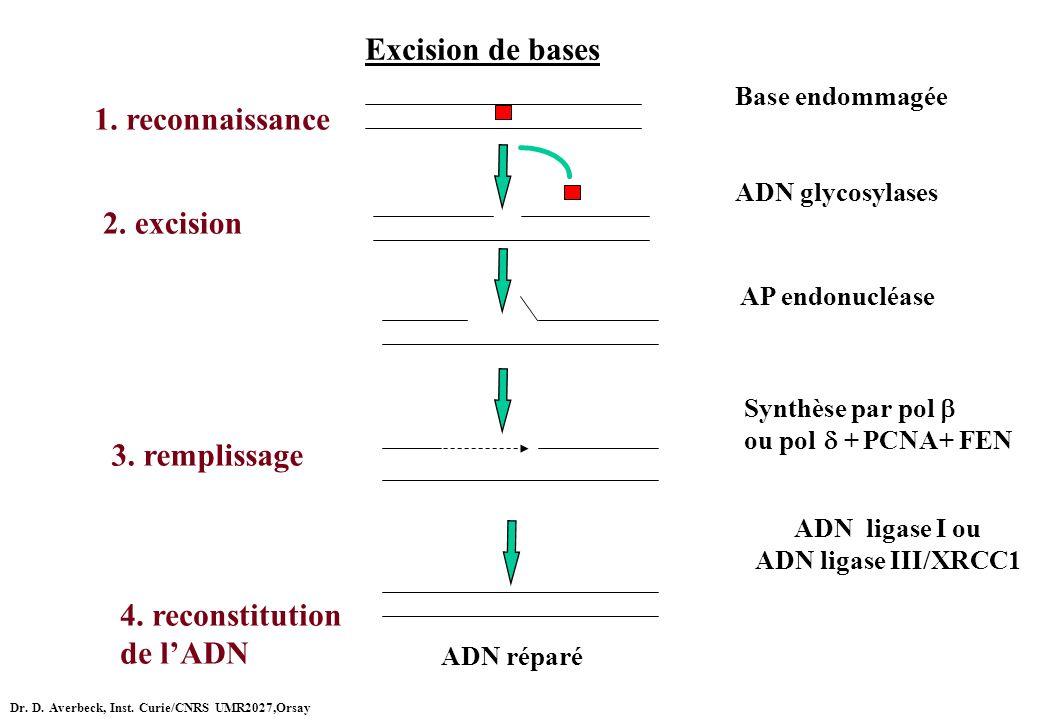 Excision de bases Base endommagée AP endonucléase ADN glycosylases Synthèse par pol ou pol + PCNA+ FEN ADN ligase I ou ADN ligase III/XRCC1 ADN réparé