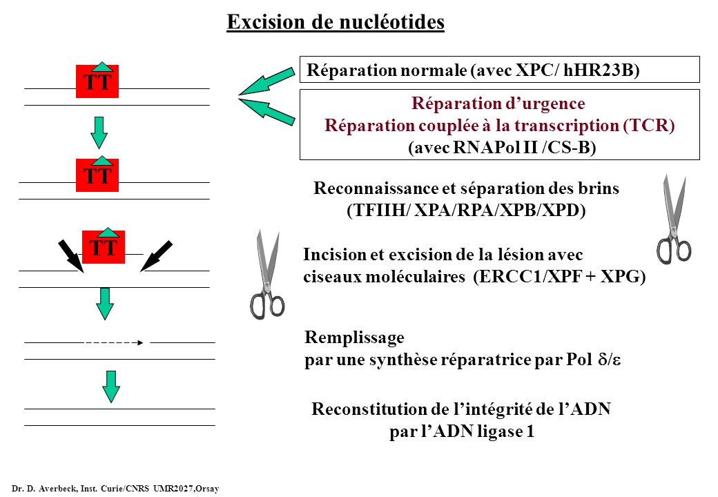 Excision de nucléotides Réparation normale (avec XPC/ hHR23B) Reconnaissance et séparation des brins (TFIIH/ XPA/RPA/XPB/XPD) Incision et excision de