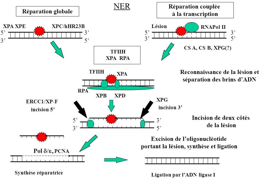 XPC/hHR23B CS A, CS B, XPG(?) RNAPol II Réparation globale Réparation couplée à la transcription TFIIH XPA RPA TFIIH XPA RPA XPBXPD Reconnaissance de