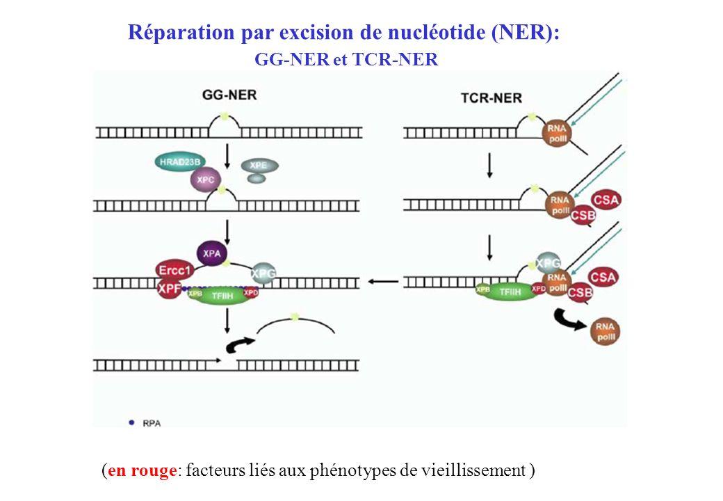 (en rouge: facteurs liés aux phénotypes de vieillissement ) Réparation par excision de nucléotide (NER): GG-NER et TCR-NER