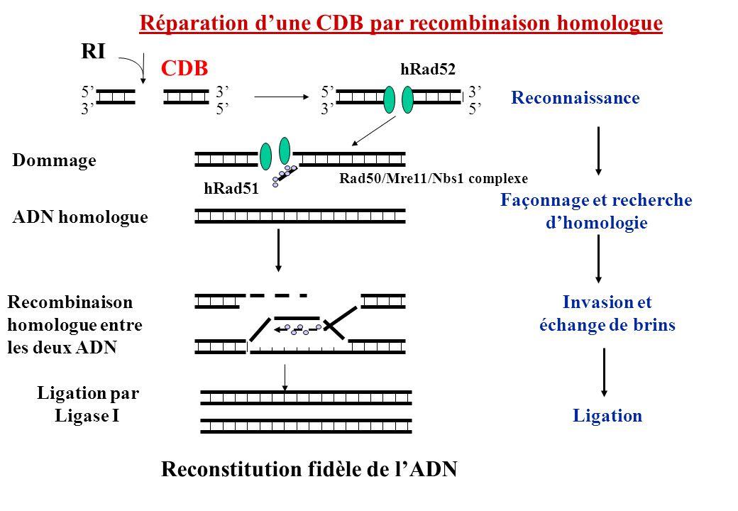 Réparation dune CDB par recombinaison homologue RI CDB Invasion et échange de brins Ligation par Ligase I Façonnage et recherche dhomologie hRad52 Rec