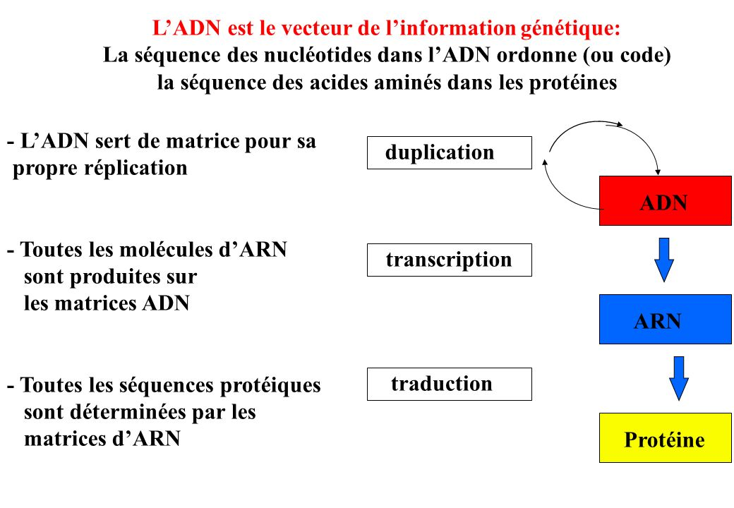 Les lésions de lADN Ce sont des modifications accidentelles ou provoquées qui aboutissent à une anomalie de la constitution physique ou chimique de lADN 5 grandes classes de modifications: Modifications des 2-désoxyriboses de lADN (par arrachement datome dhydrogène par les radicaux *OH) ---> cassures simple et double brin (CSB, CDB), sites abasiques oxydés (2-désoxyribonolactone) (formation de pontages avec Endo III,Fpg,Neil1, Pol beta, voir Barker et al.