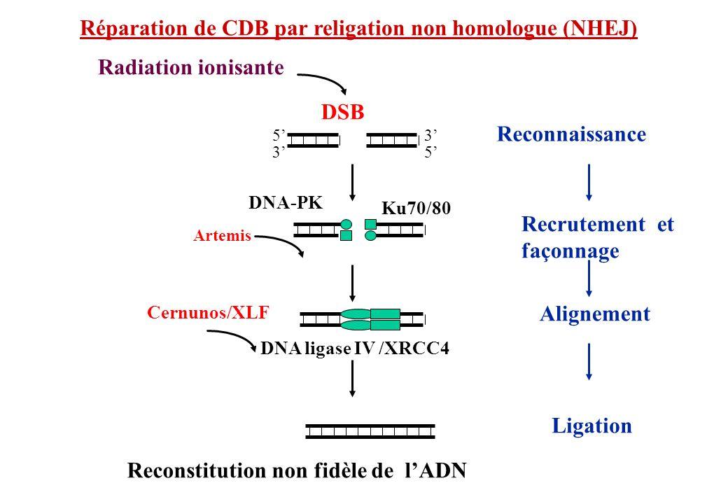 Réparation de CDB par religation non homologue (NHEJ) DSB Reconnaissance DNA-PK Ku70/80 Alignement DNA ligase IV /XRCC4 Ligation 5 5 3 3 Radiation ion
