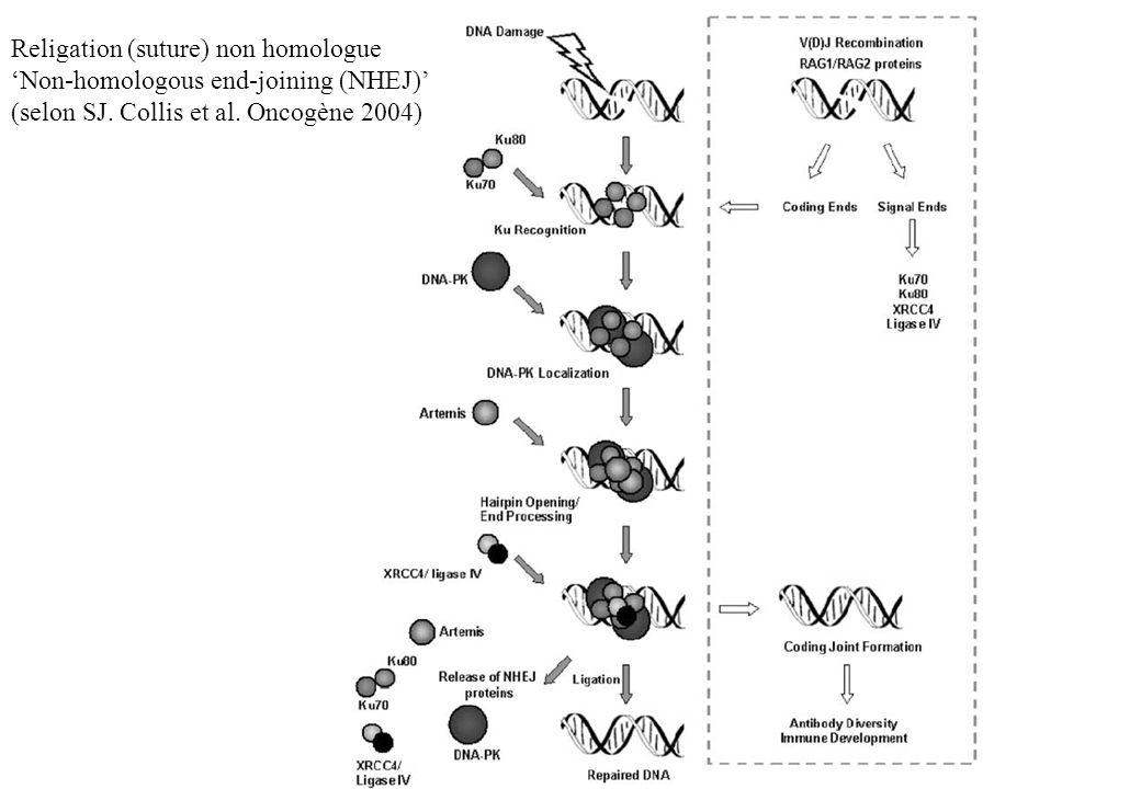 Religation (suture) non homologue Non-homologous end-joining (NHEJ) (selon SJ. Collis et al. Oncogène 2004)