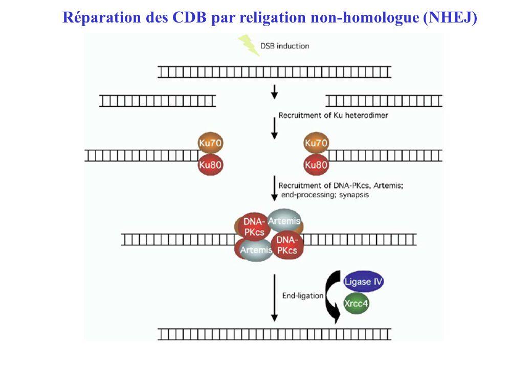 Réparation des CDB par religation non-homologue (NHEJ)