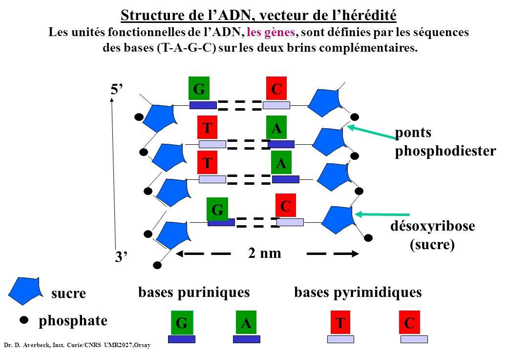 sucre phosphate TA G C GC TA C T G A bases pyrimidiquesbases puriniques 5 3 ponts phosphodiester désoxyribose (sucre) Structure de lADN, vecteur de lh