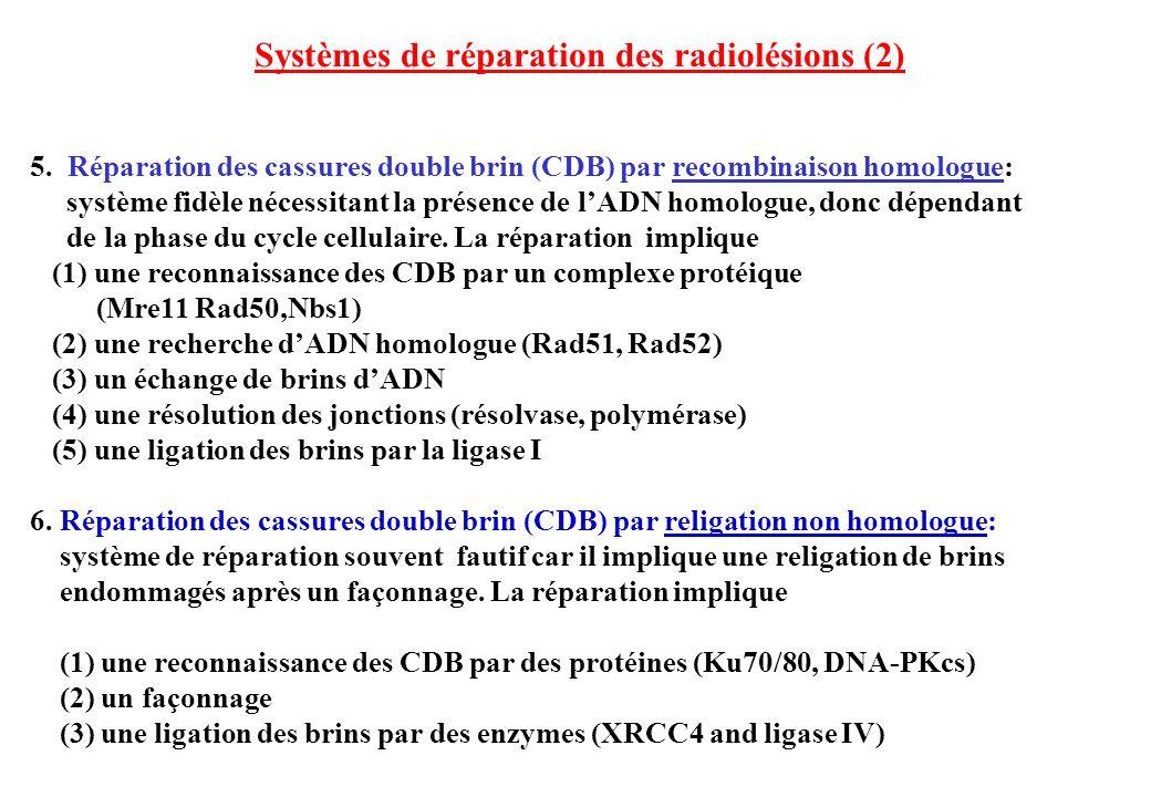 Systèmes de réparation des radiolésions (2) 5. Réparation des cassures double brin (CDB) par recombinaison homologue: système fidèle nécessitant la pr