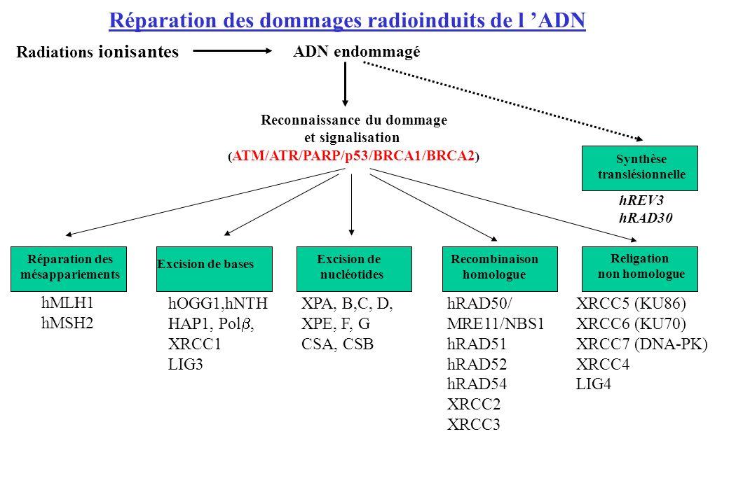 Réparation des dommages radioinduits de l ADN ADN endommagé Radiations ionisantes Reconnaissance du dommage et signalisation ( ATM/ATR/PARP/p53/BRCA1/
