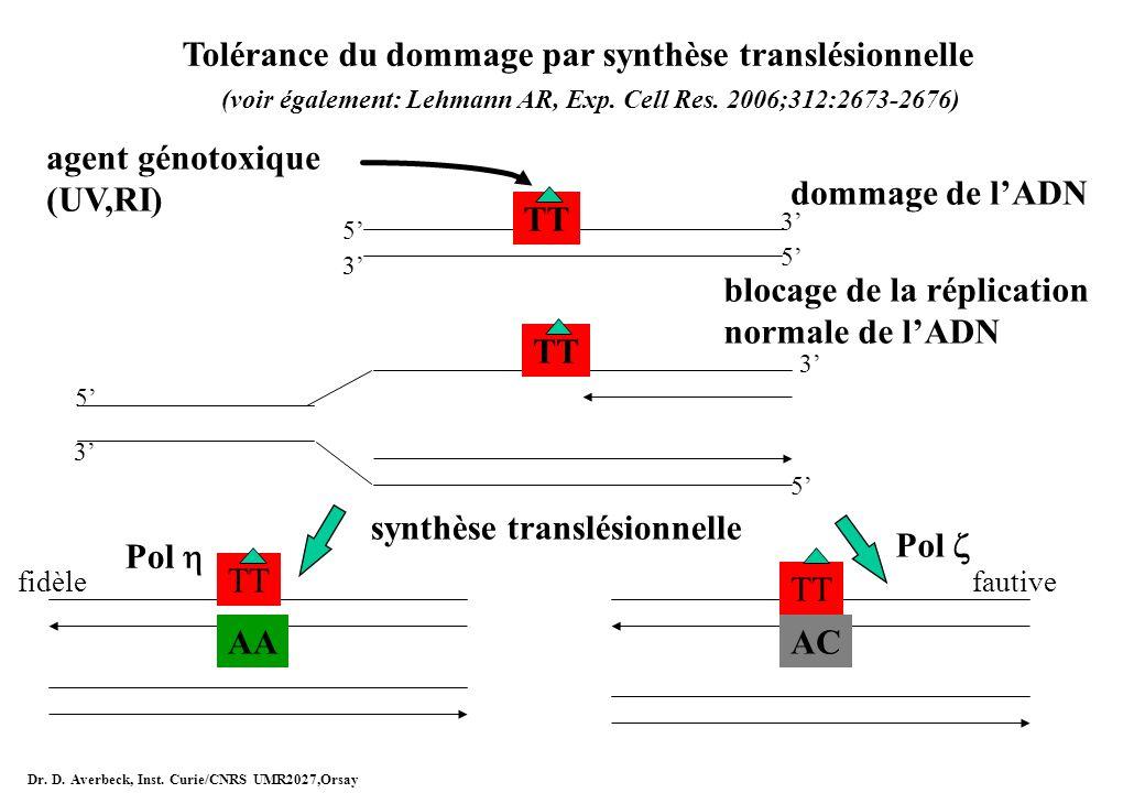 Tolérance du dommage par synthèse translésionnelle (voir également: Lehmann AR, Exp. Cell Res. 2006;312:2673-2676) agent génotoxique (UV,RI) TT dommag