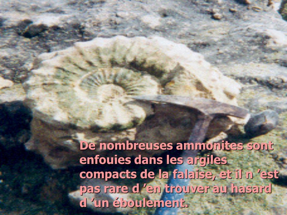 De nombreuses ammonites sont enfouies dans les argiles compacts de la falaise, et il n est pas rare d en trouver au hasard d un éboulement.