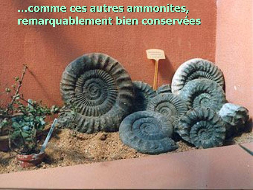 …comme ces autres ammonites, remarquablement bien conservées