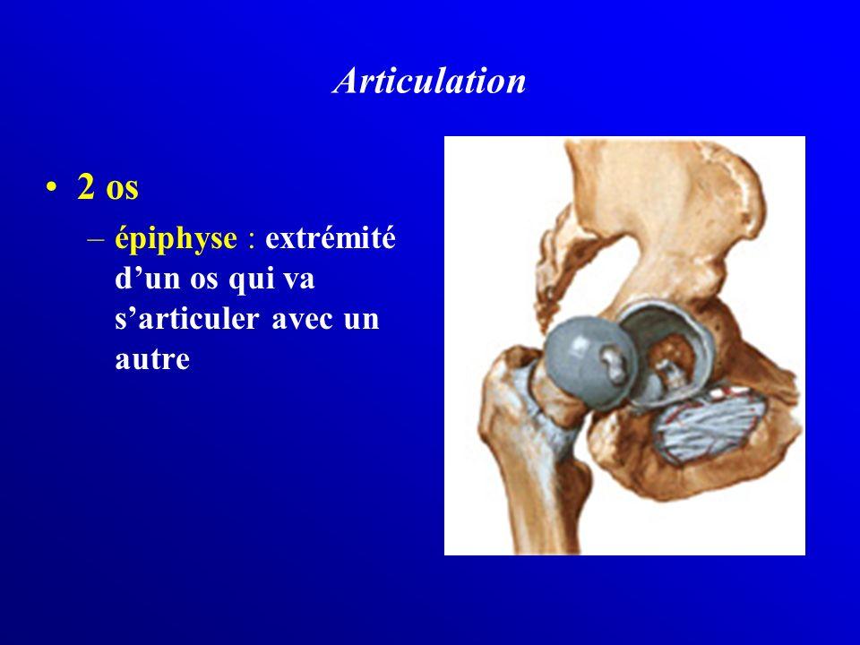 Articulation 2 os –épiphyse : extrémité dun os qui va sarticuler avec un autre