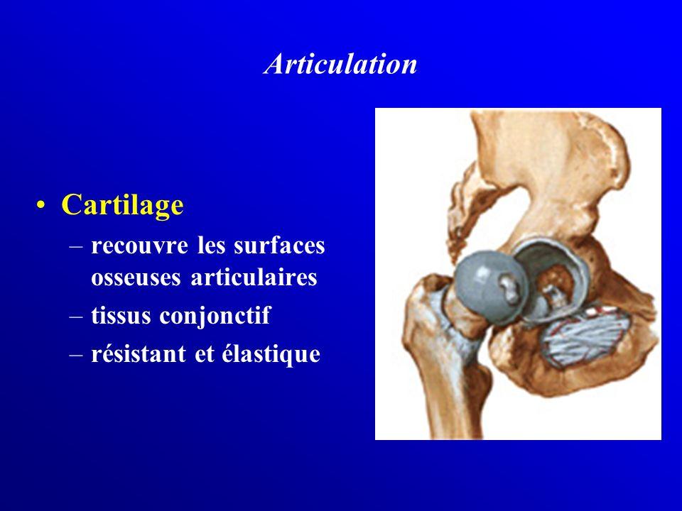 Articulation Cartilage –recouvre les surfaces osseuses articulaires –tissus conjonctif –résistant et élastique
