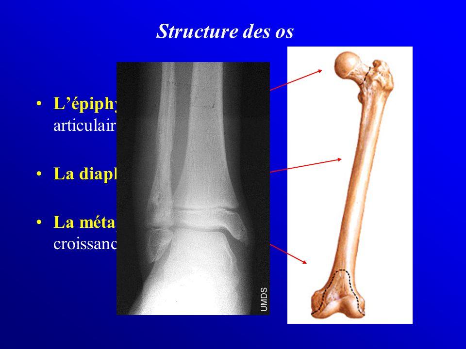 Lépiphyse = extrêmité articulaire La diaphyse = axe porteur La métaphyse = zone de croissance Structure des os