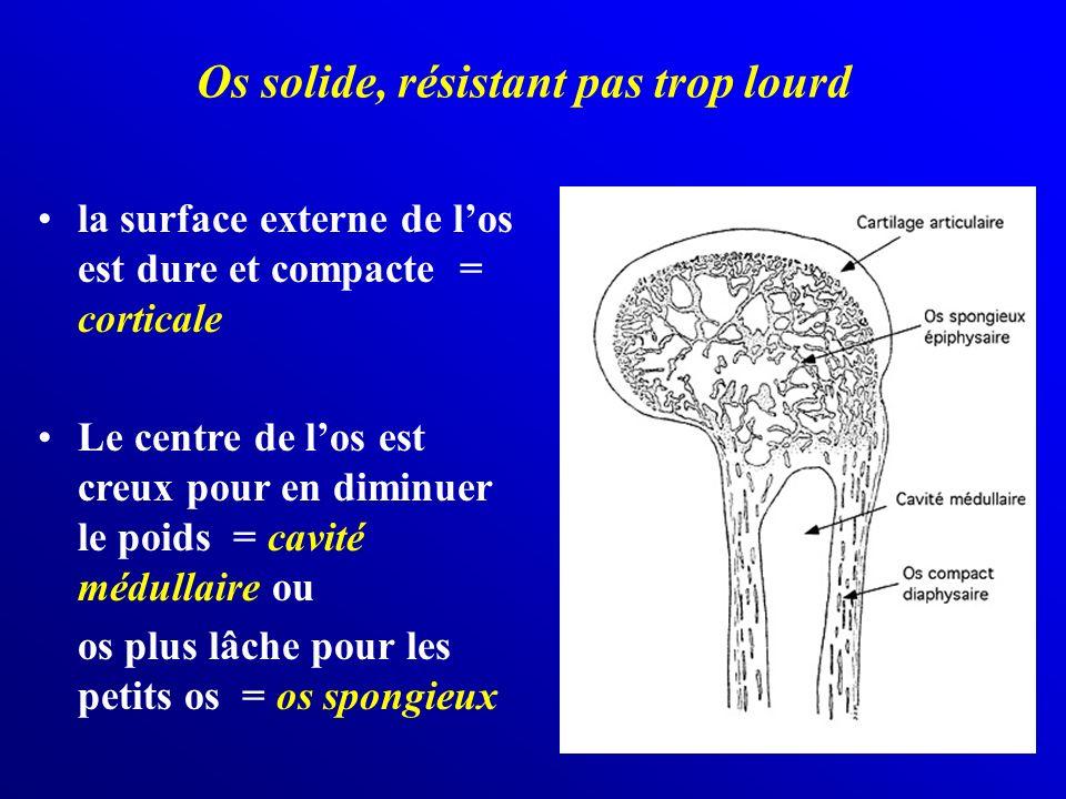 Os solide, résistant pas trop lourd la surface externe de los est dure et compacte = corticale Le centre de los est creux pour en diminuer le poids =