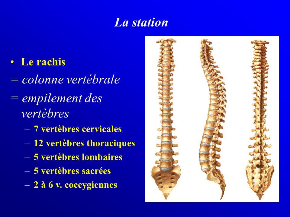 La station Le rachis = colonne vertébrale = empilement des vertèbres –7 vertèbres cervicales –12 vertèbres thoraciques –5 vertèbres lombaires –5 vertè