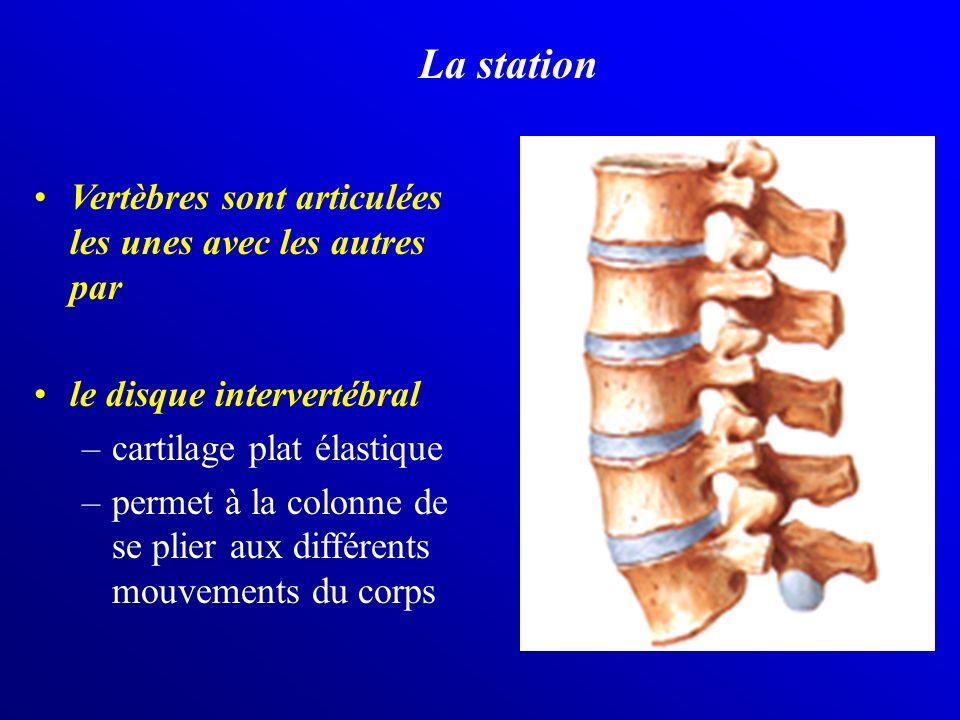 La station Vertèbres sont articulées les unes avec les autres par le disque intervertébral –cartilage plat élastique –permet à la colonne de se plier