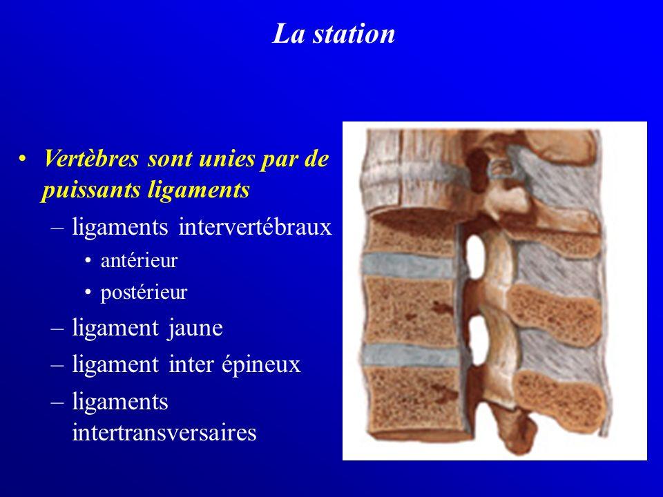 La station Vertèbres sont unies par de puissants ligaments –ligaments intervertébraux antérieur postérieur –ligament jaune –ligament inter épineux –li
