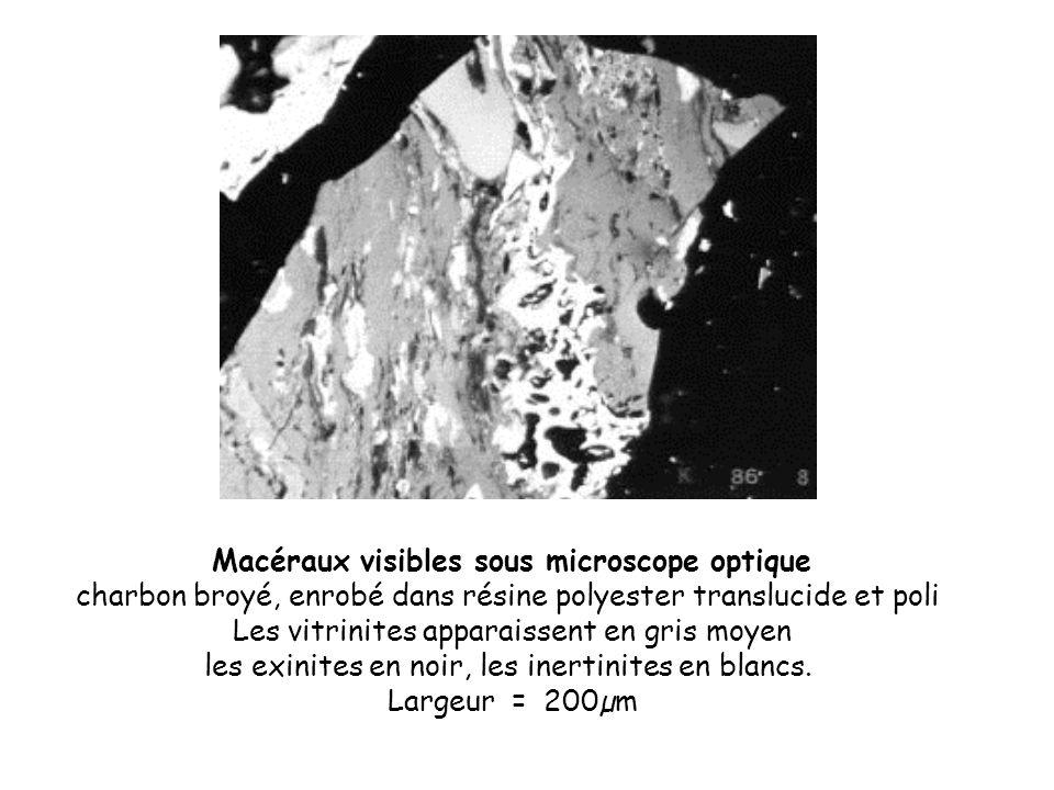 Macéraux visibles sous microscope optique charbon broyé, enrobé dans résine polyester translucide et poli Les vitrinites apparaissent en gris moyen le