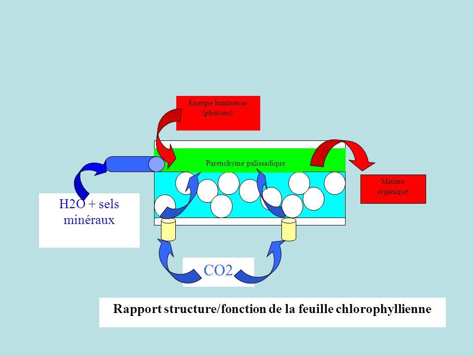 Parenchyme palissadique H2O + sels minéraux Energie lumineuse (photons) Matière organique CO2 Rapport structure/fonction de la feuille chlorophyllienn