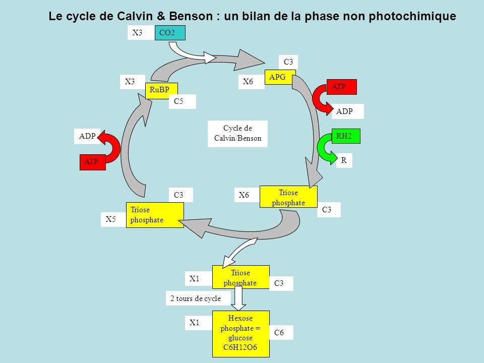 Le cycle de Calvin & Benson : un bilan de la phase non photochimique RuBP APG CO2 C3 C5 Cycle de Calvin/Benson Triose phosphate ADP ATP ADP ATP R RH2