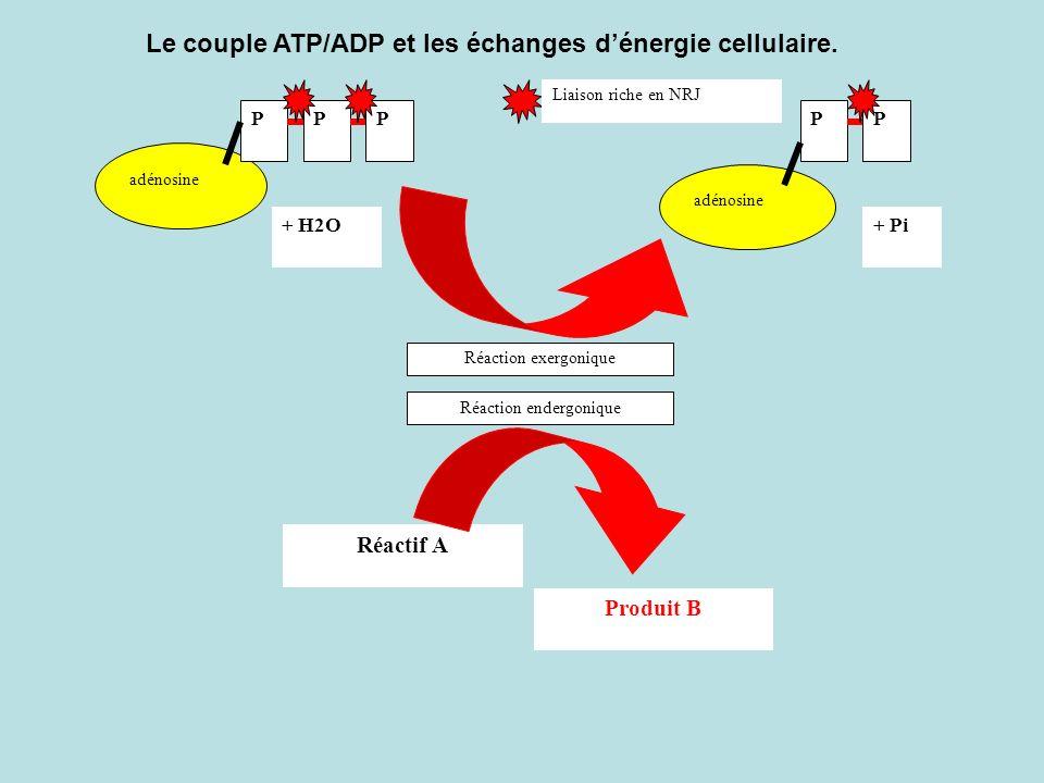 adénosine PPP + H2O+ Pi adénosine PP Liaison riche en NRJ Réactif A Produit B Réaction exergonique Réaction endergonique Le couple ATP/ADP et les écha