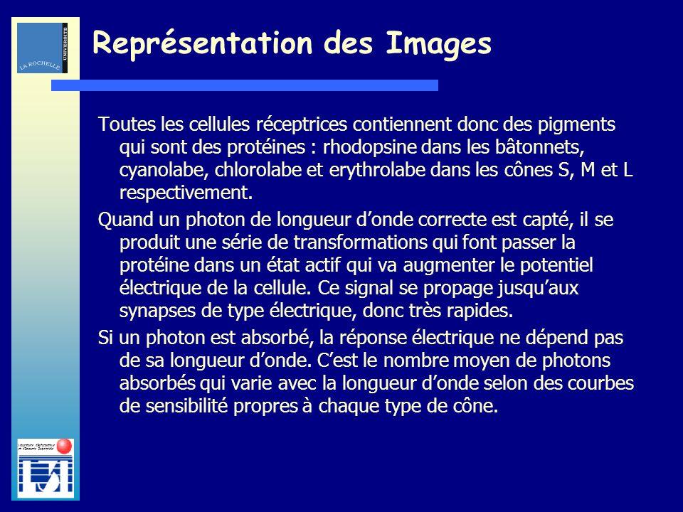 Laboratoire dInformatique et dImagerie Industrielle Toutes les cellules réceptrices contiennent donc des pigments qui sont des protéines : rhodopsine