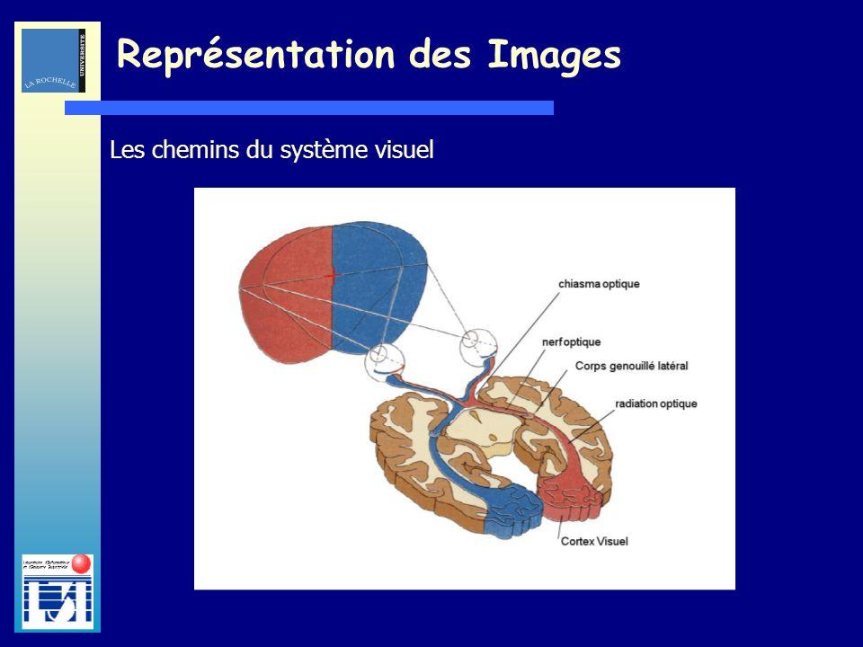 Laboratoire dInformatique et dImagerie Industrielle Les chemins du système visuel Représentation des Images