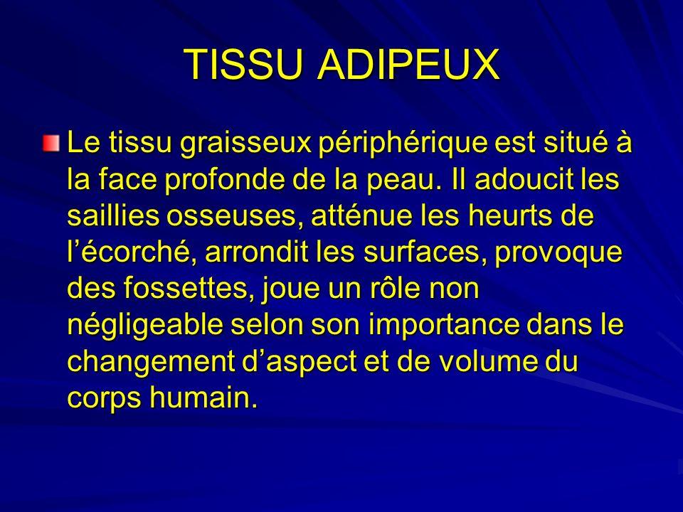 TISSU ADIPEUX Le tissu graisseux périphérique est situé à la face profonde de la peau. Il adoucit les saillies osseuses, atténue les heurts de lécorch
