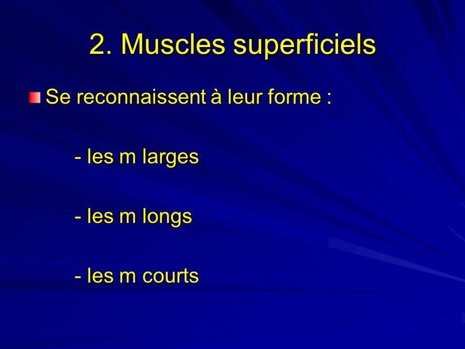 2. Muscles superficiels Se reconnaissent à leur forme : - les m larges - les m longs - les m courts