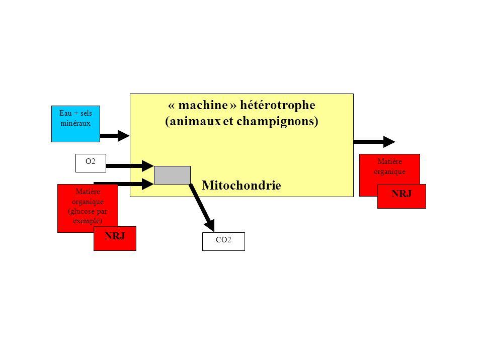 « machine » hétérotrophe (animaux et champignons) Mitochondrie O2Eau + sels minéraux CO2 Matière organique NRJ Matière organique (glucose par exemple)