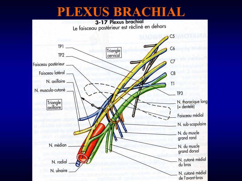 branches antérieures des 4 dernières racines cervicales (C5, C6, C7, C8) et 1ère racine dorsale (T1) appartient à la région supra-claviculaire et au creux axillaire Nombreuses variations individuelles CONSTITUTION: C5 et C6: tronc primaire supérieur C7: tronc primaire moyen C8 et T1: tronc primaire inférieur Chaque tronc se divise en une branche ant et une branche post